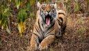 الفرق بين النمر والفهد