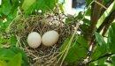 فوائد اكل بيض الحمام