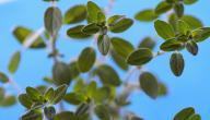 فوائد نبات البردقوش