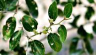 فوائد عشبة السدر