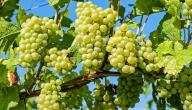 فوائد العنب الاخضر للجنس