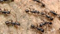 طريقة طرد النمل من المنزل