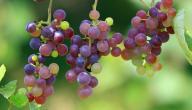 طريقة عمل زيت بذور العنب