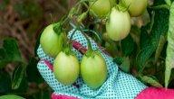 امراض الطماطم وطرق مكافحتها