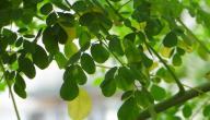 فوائد شجرة المورينجا للتخسيس