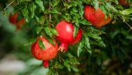 كيفية زراعة الرمان