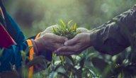 كيفية زراعة شجرة الآراك