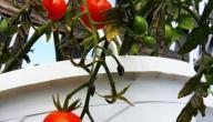 طريقة زراعة الطماطم فى المنزل