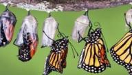 مراحل دورة حياة الفراشة