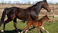 ماذا تسمى انثى الحصان