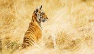 ماذا تسمى أنثى النمر؟