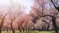 أنواع اشجار اللوز