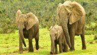 أين يعيش الفيل؟