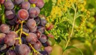 ماهي فوائد العنب