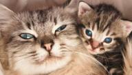 أعراض الحمل عند القطط الشيرازي