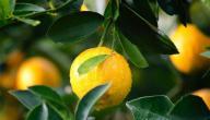 كيف يزرع الليمون في المنزل؟