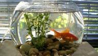 كيفية العناية بحوض سمك الزينة الصغير