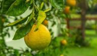 الاعتناء بشجرة الليمون