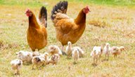 ما هي أفضل أنواع الدجاج للتربية؟