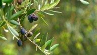 ما فوائد أوراق الزيتون للبشرة والشعر؟ وكيف تستخدمينها؟