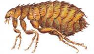 التخلص من حشرة البرغوث