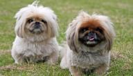 أشكال كلاب لولو