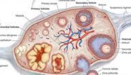 الفرق بين تكيس المبيض واكياس المبيض