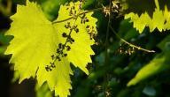 فوائد ورق العنب للبشرة