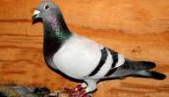 طيور زاجل هولندي