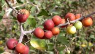 ثمرة السدر