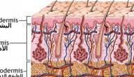 كم عدد طبقات جلد الانسان