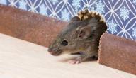 كيف تقضي على الفئران