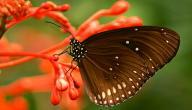عدد ارجل الفراشة