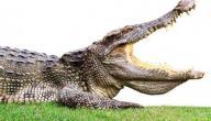 عدد اسنان التمساح