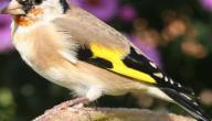 أسماء بعض الطيور المغردة