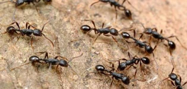طريقة لطرد النمل