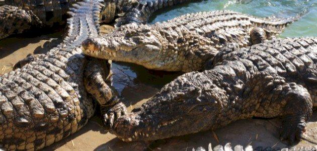 الفرق بين التمساح والقاطور