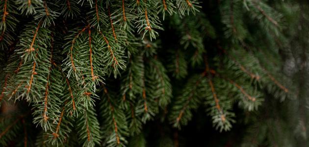 أنواع شجر الصنوبر