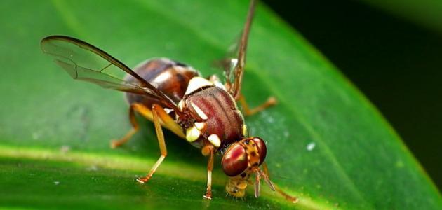 التخلص من ذباب الفاكهة