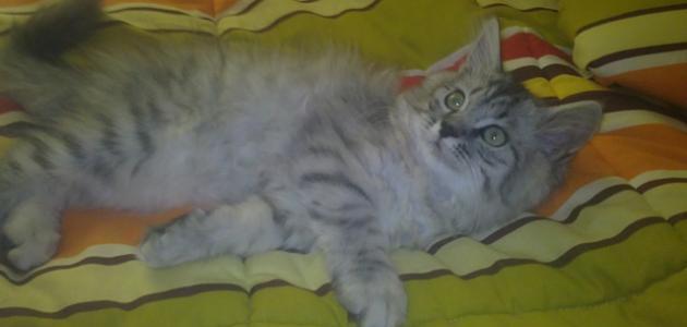 أنواع القطط الرومي