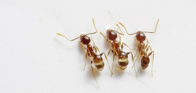 كيف أزيل النمل من البيت