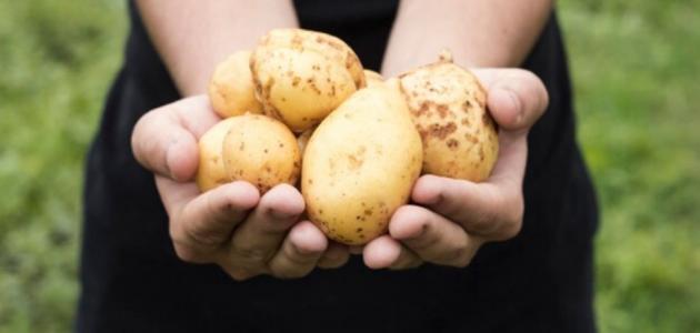 طريقة زراعة البطاطا فى المنزل