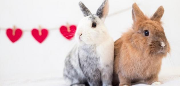 كيف تربي الأرانب في المنزل؟