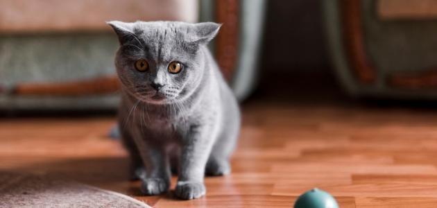 بهذه الطرق يمكنك تنظيف شعر القطط من السجاد