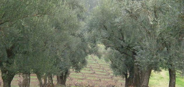العناية بأشجار الزيتون