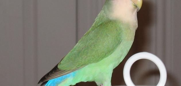 الفرق بين طيور الروز والفيشر