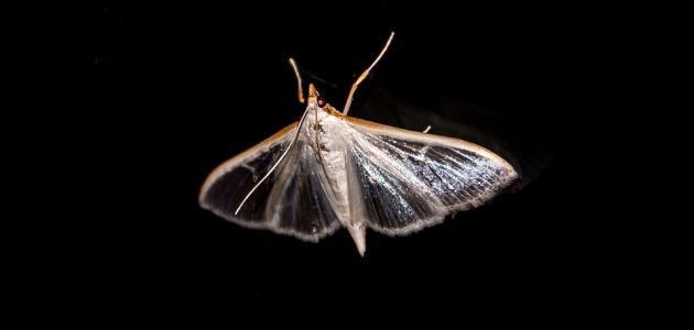 التخلص من حشرة العث