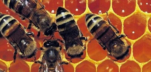 استخدام غذاء ملكات النحل